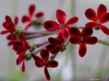 Raffreddore e sintomi influenzali: Pelargonium sidoides