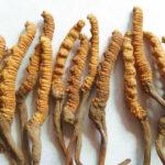 Cordyseps sinensis: micoterapia cinese in nostro aiuto!