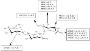 Rappresentazione di diversi tipi di enzimi che modificano gli aminoglicosidi e la loro nomenclatura.