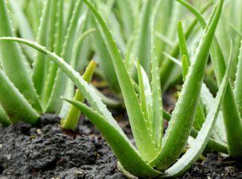 Depurarsi con l'Aloe vera