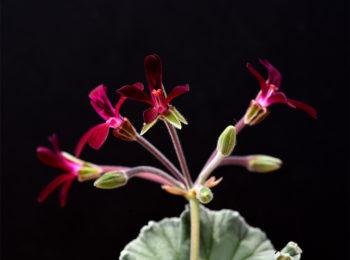 Pelargonium Sidoides: che ruolo potrebbe avere contro il Covid-19 ?