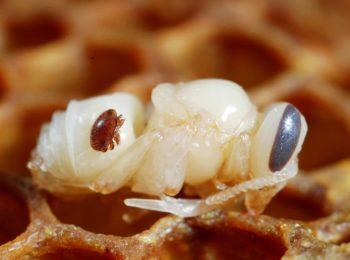 Varroa Destructor e l'Apis Mellifera: cosa sono?