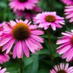 Echinacea e difese immunitarie: usi e proprietà